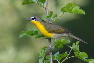 CA3I5718-Yellow-breasted Chat