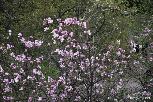 Ботанічний сад імені Гришка Цвітуть магнолії InterNetri  Ukraine 193