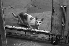 The TRESSpussER (N A Y E E M) Tags: cat candid pussy stray street gate rabiarahmanlane chittagong bangladesh sooc raw unedited untouched