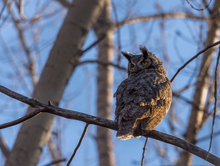 Great Horned Owl (Grand-duc d'Amérique)