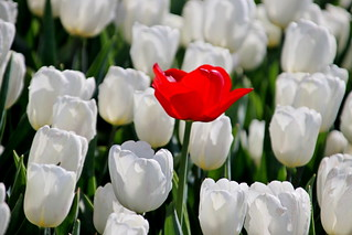 red tulip lost in row of white tulips in sunlight in rows in a long flower field in Oude-Tonge on the island Goeree Overflakkee in the Netherlands.