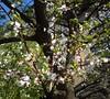 Tavaszi virágzás / Весняне цвітіння / Spring blossom (ruta / рута) Tags: blossom tree urbannature flare flickrfriday
