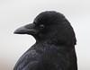 Carrion Crow (Corvus corone) (iainrmacaulay) Tags: bird uk carrion crow corvus corone