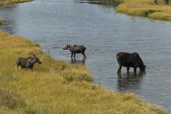 "Moose at Schwabacher's Landing • <a style=""font-size:0.8em;"" href=""http://www.flickr.com/photos/63501323@N07/26857907617/"" target=""_blank"">View on Flickr</a>"