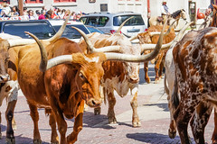 FortWorth_136 (allen ramlow) Tags: fort worth texas longhorn cattle parade city urban cowboy sony a6500
