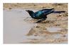 2018 02 02_Burchell's Starling-1 (Jonnersace) Tags: africa burchellsstarling grootglansspreeeu lamprotornisaustralis bird starling drinking water puddle shine irridescent wild nature krugernationalpark canon canon7dii canon100400ii wildwingssafaris