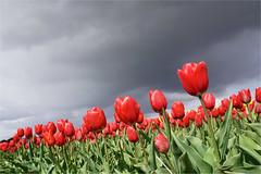 the red ones (leuntje) Tags: tulips tulipa noordwijk noordwijkerhout bollenstreek zuidholland netherlands