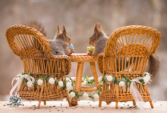 red squirrels sit on chairs with an wedding table (Geert Weggen) Tags: bridesmaid paranymph animal arrangement celebration celebrationevent ceremony domesticanimals event happiness holidayevent joy lifeevents outdoors parade photography princeroyalperson princeregiment royalty smiling traditionalceremony wedding weddingceremony harry meghan princess squirrel redsquirrel marry word text bridalveil open mouth dress happy fun congrats bestwishes table cake drink meal coffee candle light romantic chair bispgården jämtland sweden geert weggen hardeko ragunda