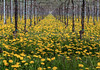 Yellow viewpoint (Robyn Hooz) Tags: vineyard archivio fiori flowers pali post veneto campagna country view vista treviso