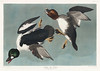 Golden-eye Duck from Birds of America (1827) by John James Audubon (1785 - 1851 ), etched by Robert Havell (1793 - 1878). The original Birds of America is the most expensive printed book in the world and a truly awe-inspiring classic. (Vintage illustrations by rawpixel) Tags: birdsofamerica commongoldeneye goldeneyeduck goldeneye johnjamesaudubon roberthavell america bird bucephalaclangula duck