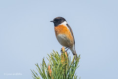 Stonechat 500_9708.jpg (Mobile Lynn) Tags: stonechat birds nature bird fauna passerine saxicolarubicola wildlife