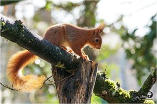 Ecureuil au jardin