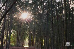 Sunburst (Deb Wax) Tags: sunburst dogwood52 week18 dogwood2018 visionedgecutsun vision edge cut sun photography 52weekphotographychallenge 52weekphotographychallenge2018 woods nature sunshine morning morningwalk early earlymorning hike tree trees sunrays sunray rays bright vacation