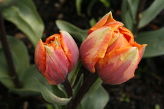 _MG_5662 (condor avenue) Tags: tulipfestival skagitvalley washington flowers colorspam skagitcounty tulipfields hyacinths daffodils spring