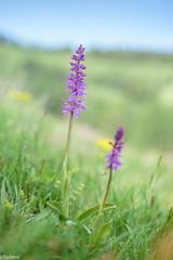 just started (Tschissl) Tags: austria orchids orchideen location pflanzen blumen steiermark flowers österreich