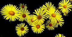 Kołotocznik wierzbolistny. (andrzejskałuba) Tags: polska poland pieszyce dolnyśląsk silesia sudety europe panasoniclumixfz200 plant roślina kwiat kwiaty kołotocznikwierzbolistny żółty yellow ogród garden natura nature 100v10f