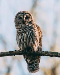 (Jacob Valerio) Tags: jake valerio jacob nikon d800 sigma 150600 barred owl