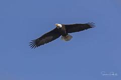 Bald Eagle (Stephen J Pollard (Loud Music Lover of Nature)) Tags: baldeagle águilacabezablanca bird ave raptor averapaz birdofprey avedepresa haliaeetusleucocephalus