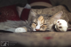 Victoria the Cat (Nathan Nixon Photography) Tags: green yellow adorable animal pet cat bed sleepy nap orange fur portrait macro close up sleep grey furry morning light eyes pillow beautiful cute ears