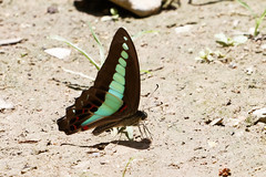 Common Bluebottle (scubahenlik) Tags: butterfly papilionidae insect thailand khaosok nature