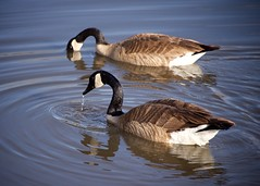 Fishing as a Pair (The Good Brat) Tags: co us goose geese pair fishing pond water canadiangeese brantacanadensis waterfowl