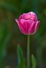 Tulip (pstenzel71) Tags: blumen natur pflanzen tulpe tulip tulipa flower spring frühling darktable bokeh