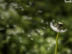 Mellado - Tooth loss (danielfi) Tags: diente de león planta plant dandelion macro naturaleza nature taraxacum officinale ngc wind aire