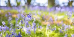 The Glebe in May  with bokeh (photoart33) Tags: woods bluebells wildflowers wood spring scenery landscape bokeh flowers green blue pastel