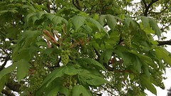 Sycamore (Acer pseudoplatanus) - flowers & leaves - April 2018 (Exeter Trees UK) Tags: sycamore acer pseudoplatanus flowers leaves april 2018