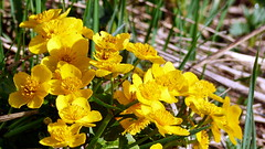 Caltha palustris (Ranunculaceae) (Velskola, Espoo, 20180514) (RainoL) Tags: crainolampinen 2018 201805 20180514 clr esbo espoo finland flower flowers fz200 geo:lat=6031110962 geo:lon=2463488238 geotagged marshmarigold may nyland plant plants rentukka spring uusimaa velskola vällskog yellow fin