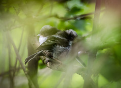 Long Tailed Tit Family (@JBOccyTherapy) Tags: ledgling birds fledglings nature wildlife braziers meadow suffolk ravenswood nest baby family long tailed tits scrubland birding ipswich