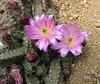 仙人掌-美花角 Echinocereus pentalophus   [日本大阪鮮花競放館 Osaka Sakuya Konohana Kan, Japan] (阿橋花譜 KHQ Flower Guide) Tags: 仙人掌科 cactaceae echinocereus