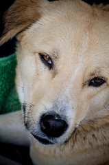 Sournoise (LynxDaemon) Tags: molly dog pets eyes look rescue afghanistan tan portrait
