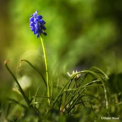 Muscari (didier95) Tags: muscari fleur fleurbleue bleu vert macro