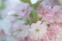 Cherry Blossom (JMS2) Tags: nature bokeh pink cherryblossom bloom spring floral closeup macro