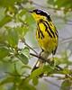 Spring Traveler (Wes Iversen) Tags: chicago hss illinois magnoliawarbler montrosepointbirdsanctuary setophagamagnolia sliderssunday springmigration tamron150600mm birds nature texture