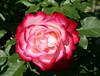Beetrose 'Blumenstadt Tulln' (Wolfgang Bazer) Tags: rose beetrose bed blumenstadt tulln jubilé du prince de monaco volksgarten wien vienna österreich austria