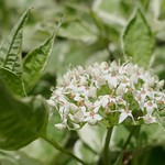 Au jardin, cornouiller blanc ou Cornus alba