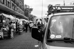 Hey dog (Frederik Trovatten) Tags: dog dogs car streetphotography street streets streetphotographer portrait animal fuji fujifilm x100f candid blackandwhite blackandwhitephotography black white photography