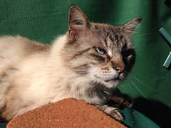 Chat_Bleu_02 (Fabien83400) Tags: chat yeux var carqueiranne iphone apple iphone5c 5c soleil bleus animal de compagnie