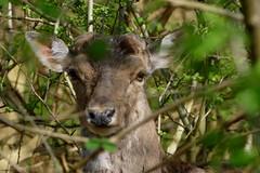 (Im)posing deer (jehazet) Tags: nationaalparkkennemerduinen damhert fallowdeer jehazet
