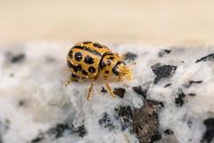 Tytthaspis sedecimpunctata (CJH Natural) Tags: coccinellidae tytthaspissedecimpunctata macro makro beetle ladybird nature wildlifephotography naturephotography licht wild natur wildlife nesting light walk adventure mission