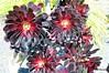 DSC_0632 (RachidH) Tags: cactus cactii succulents flowers blossoms blooms aeonium treeaeonium treehouseleek irishrose aeoniumarboreum aéoniumenarbre chouenarbre dolores park missiondolorespark sanfran sf sanfrancisco ca california rachidh nature