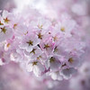 Like a Lamb (Lala Lands) Tags: cherryblossoms pinkspringflowers floweringtrees pink inlikealamb pinkhour bokeh shallowdof nikkor105mmf28 nikond7200