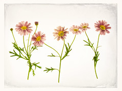 lightbox floral photography (fabiennej) Tags: lightbox flowers pinkdaisies topaz topazsimplify topaztextures topazimpression