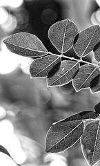 The getting back to Village (..malhar..) Tags: leafs green blackndwhite blackandwhitephotography kerala swarajmr indiapics lovenature