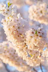 Cherry blossom season in full bloom (Lee Chu) Tags: a7iii ilce7m3 sel70200g toronto ontario canada sunrise sakura cherryblossoms trinitybellwoodspark