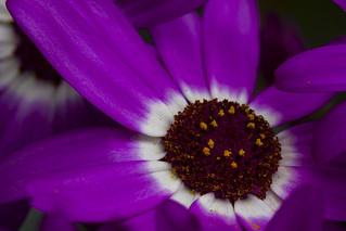 close up to beautiful pericallis (cineria) in situ, a Potterton garden, Aberdeenshire, Scotland