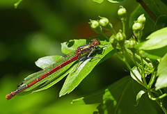 Red Damselfly (eric robb niven) Tags: ericrobbniven damselfly red springwatch scotland dundee tentsmuir forest fife coth5