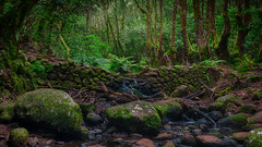 Bosque del Cedro (Jörg Bergmann) Tags: bosquedelcedro elcedro islascanarias lagomera lorbeerwald parquenacionaldegarajonay bosque canarias canaryislands creek españa fern forest garajonay gomera hiking laurisilva nature painting path spain stones stream travel trees vacation wall wallpaper water mft m43 micro43 microfourthirds lumix panasonic 20mm panasonic20mmf17 20mmf17